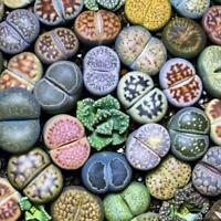 Seltene lebende Steine Pflanze Sukkulenter Kaktus Frische Samen Stück 100 R5Q3