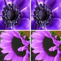 100Pcs/Bag Rare Purple Sunflower Seeds Beautiful Flower Home Garden Ornament S.