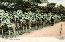 JERSEY CABBAGES 1903 POSTCARD ILFORD