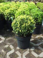 Buchsbaum Kugel Ø 22 cm+/-cm Buxus sempervirens