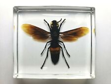 VESPA TROPICA LEEFMANSI ( Hymenoptera ) . REAL WASP EMBEDDED IN CLEAR RESIN