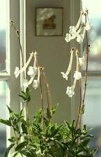 Sinningia Tubiflora, rare succulent exotic caudex african violet seed 100 SEEDS