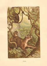 Puma, by Specht, Zoology, Prang, Vintage, 1885 Antique Art Print. #2