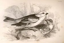 Bechstein's Caged Birds Engraving -1857- SNOW BUNTING