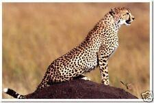 Cheetah on Alert - Animal Wildlife Africa Print  POSTER