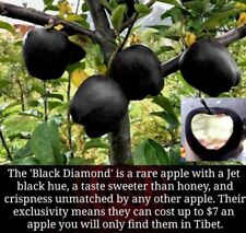 Malus Domestica cult. Black Diamond ! - 5 fresh seeds for sowing  and growing