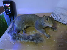Taxidermy Laying Grey Squirrel Mount Rodent Coyote Raccoon Fox Mouse Rat