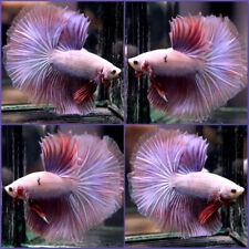 Live Betta Fish Purple Dragon Halfmoon Hm Male #A305