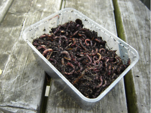 250g COMPOSTING WORMS  DENDROBAENA / TIGER WORMS / FISHING / REPTILE FOOD