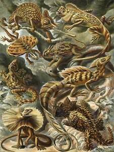 NATURE ART ERNST HAECKEL IGUANA LIZARD BIOLOGY GERMANY VINTAGE AD POSTER 1788PY
