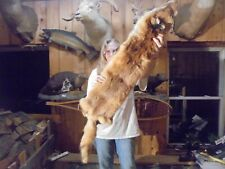 "51""# S Monster Adirondack Mt Fancy Cherry Red Fox Pelt/Taxidermy/Fur/Coyote /R#1"