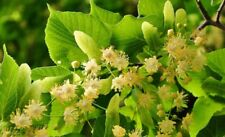 Linden tree (Tilia platyphyllos) Or Lime Tree / Finest 5-Seeds / UK Seller.