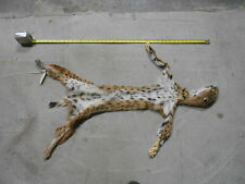 TANNED BOBCAT HIDE FULL BODY taxidermy mule deer antlers whitetail elk mount