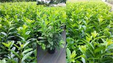 Prunus laurocerasus Novita 80+ Kirschlorbeer Top Preis Pflanzen Hecke buschig