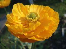 Ranunculus Bulbs, Corms, Roots & Rhizomes