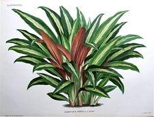 KAEMPFERIA ORNATA Linden Lithograph Double Size Antique Botanical Print 1884