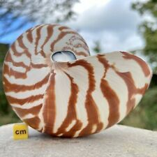 More details for nautilus natural seashell linne worldwide bcr028 ✔100% genuine