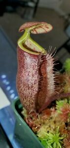 Nepenthes palawanensis-Seed grown Be 4013