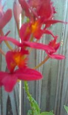 orchid Red Crucifix Orchid Red Flowers Keiki
