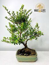Way Of Life Bonsai Japanese Holly Ilex