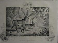 1863 stampa ~ DAINO ~ Buck & Doe