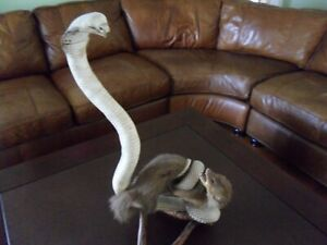 Cobra and Mongoose Taxidermy Vintage and rare