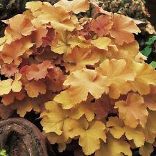 3 Heuchera 'Caramel' - Coral Bells or Alumroot - 3 Live Perennials