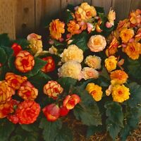 Begonia Seeds Begonia On Top Sun Sunset Shades 15 Pelleted Seeds