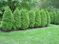 Green Giant Arborvitae Tree Thuja Super Roots Established 1 Gallon Potted Plant
