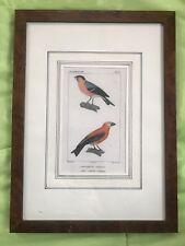 Antique Print - Birds - Bouvreuil And Bec-Croise