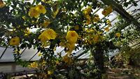 1 Live and Rooted Plant GOLDEN TRUMPET VINE Starter pack  Perennials Fragrant