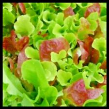 Mesclun Mix Lettuce Seeds | Lettuce Seeds for Planting Home Gardens | Non-Gmo