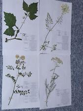 """Herbarium Pflanzensammlung; 30 gepresste + bestimmte, Pflanzen AUSWÃ""""HLEN"""