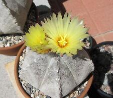 25 seeds Astrophytum coahuilense cactus seeds