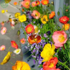 200 Flower Seeds Iceland Poppy seeds Mix Many Colours and Bicolors garden plant