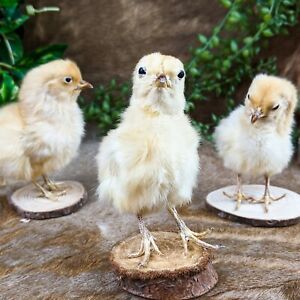 H33 ONE TAXIDERMY Domestic (NAT Death)  BABY Chick Chicken Wood Base Adorable!