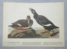 1942 Audubon #247 White Winged Scoter & #248 Pied Billed Grebe Color Lithograph