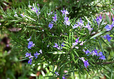 20 cuttings Rosemary medicinal plant diabetes antioxidant herbal culinary spices