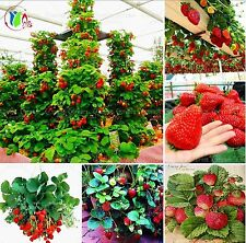 800 pcs Red Giant Climbing Strawberry Fruit Plant Seeds