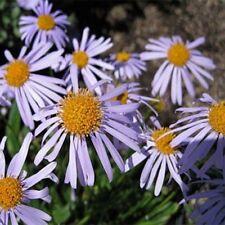 Aster -Wartburg star- 50 Seeds- Bogo 50% off Sale