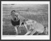 8x10 Photo~ NATIONAL GEOGRAPHIC EXPLORER ~1990s TV ~Lions Of Darkness