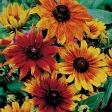 Rudbeckia colores de Otoño - 30 Semillas - Anuales & Bienales