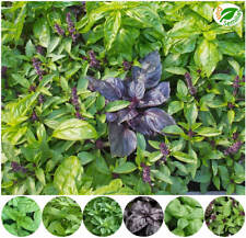 Albahaca mezcla de aromas y colores ( 600 semillas ) seeds - Ocimun basilicum