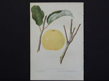 """""""The Fruits of America"""" CM Hovey Fruit Engraving c1852 Early Harvest Apple 33"""