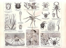 1890 INSECTS SPIDERS SCORPION TARANTULA TICK  Antique Engraving Print