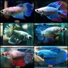 New listing Live Betta Fish Set x6 Fancy 'Big Mama' Halfmoon Plakat Females Mixed