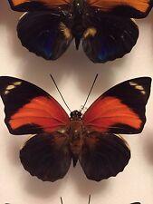 "Agrias pericles aurantica   ""Rare"" male #3"