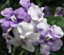 YESTERDAY TODAY & TOMORROW Brunfelsia latifolia purple white scented plant 140mm