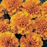 50 Marigold Seeds French Bonanza Orange PLANT SEEDS