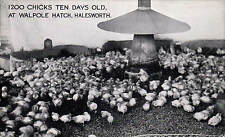 Halesworth. 1200 Chicks at Walpole Hatch. Poultry Industry.